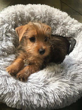 Coco, Norfolk Terrier