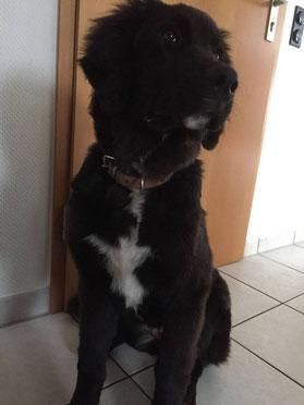 Kimba, Landseer-germanischer Bärenhund