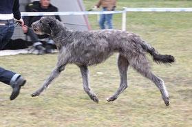 Scottish Deerhounds aus Deutschland/Germany, Deerhound Welpen/Züchter/Würfe!