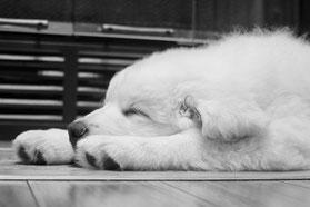 Un chiot blanc dort, la tête entre ses pattes par coach canin 16 educateur canin à domicile en charente