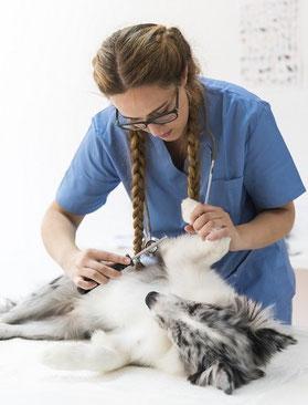 un berger australien bleu allongé et ausculté par un vétérinaire par coach canin 16 educateur canin en charente
