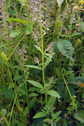 ミゾコウジュ (溝香薷) シソ科アキギリ属