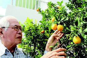 オレンジ色に実ったキンカンと収穫する親川さん=1日午後、大川の親川さん宅