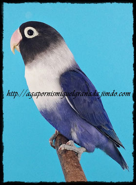 personatus D Blue pied Violet Df y Sf, personata arlequín azul d violeta Sf y Df