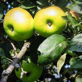 Da die Fränkische Schweiz auch dafür bekannt ist, Streuobstwiesen zu haben bietet es sich an, das Obst auch zu vermosten.