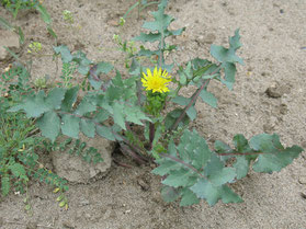 Молочай или осот огород.(Sonchus oleraceus)