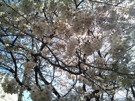 この桜は当店のはす向かいにある「中野区立みよし公園」の桜です。