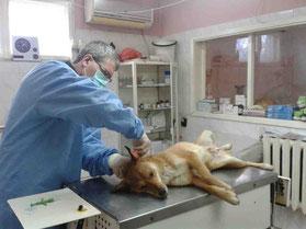 Kastration von Straßenhunden im Tierheim in Schumen