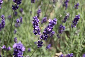 Huile essentielle de Lavande officinale -Lavandula angustifolia