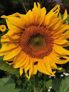 Nahaufnahme einer Sonnenblumenblüte im Sonnenschein inkl. hungriger Biene von Marc Wettering. 1.08.2021 Letter-Marienwerder