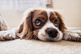 Un chien cavalier king charles marron et blanc couché sur son ventre, la tête posée entre ses pattes écartées par coach canin 16 educateur canin angouleme