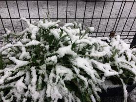 初雪 積もりました