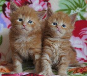 котята мейн кун красные мраморные
