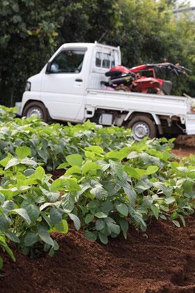大豆畑の風景の写真