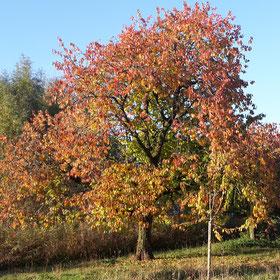 Herfst, kersenboom, kersenboomgaard de Themaat