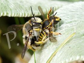 Bild: Garten-Wollbiene, Anthidium manicatum, Paarung am Woll-Ziest