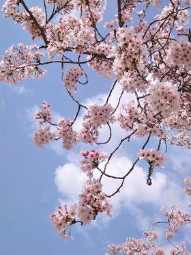 中津川市桜名所苗木城跡桜公園ソメイヨシノ満開