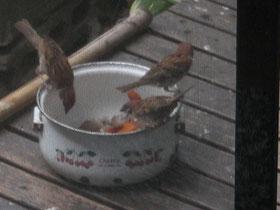 スズメの朝食