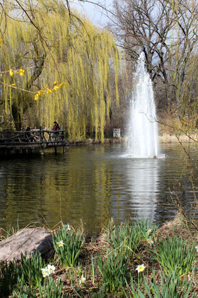 Frühling - hellgrüner Weidenbaum, Narzissen am Ufer und Fontaine im See: Volkspark Friedrichshain im April. Foto: Helga Karl