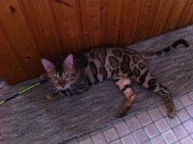 бенгальский кот Gogees Ole of Oleander