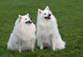 Witte keeshond pup