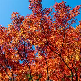 妙法山阿弥陀寺の紅葉