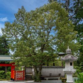 熊野妙法山阿彌陀寺阿彌陀寺の菩提樹