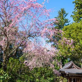 妙法山の枝垂れ桜(しだれ桜)