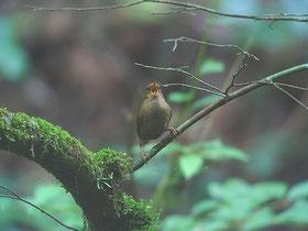 2007年6月30日 裏高尾・小下沢林道  ・近くで鳴いていても、薄暗く、すぐに姿を見つけられなかった。