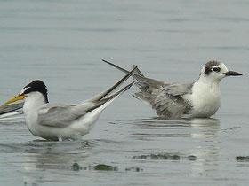 ・2007年7月29日 三番瀬 ハジロクロハラアジサシ(冬羽)   ・コアジサシ(左)(L26cm)より若干大きいが、アジサシ(L35cm)ほどではない。
