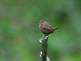・2007年7月7日 奥日光湯川  ・湯滝の下から探鳥を開始。いきなり、美声が聞こえてきた。