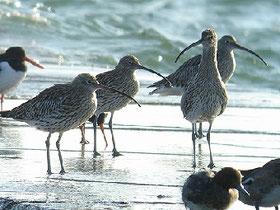 ・2007年12月30日 三番瀬  ・チュウシャクシギ4羽が防波堤でかたまっていた。