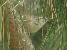 ・2009年4月12日 葛西臨海公園   ・キマユムシクイの特徴である、淡黄色の眉班、暗緑褐色の過眼線、黄白色の翼帯2本が、かろうじて写っている。