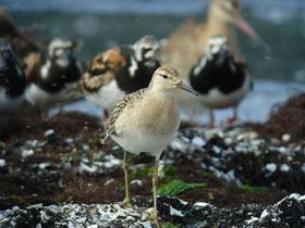 ・2007年9月2日 三番瀬  小さな眼と清楚な顔が特徴。♂夏羽からは想像がつかない。 ・バックはキョウジョシギ、さらにその奥はオグロシギ