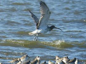 ・2008年11月30日 三番瀬  ・潮が引きはじめ、まだ小さな砂地だったが、ハマシギとともに、到着した。  着地しかけたが、再び舞いあがったところ。