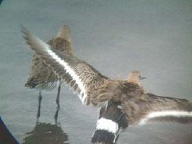 ・2003年9月23日 谷津干潟  ・飛翔時の白い翼帯、尾の白黒が特徴。