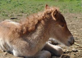 Islandpferdezucht München, Islandpferde reiten, Zuchstuten, Fuchswindfarben, Stute, Fohlen, Fohlenaufzucht Islandpferde