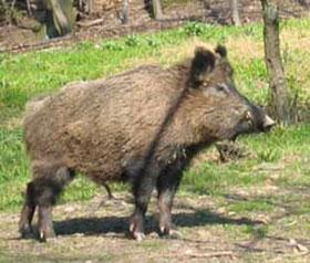 """""""Ueli Wintsch"""",Wildfleisch"""