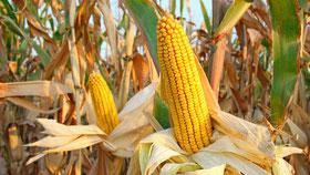Mais: Maishäckseln, Maisdrusch, Maistransport, Maissaat