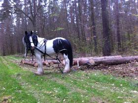 Holzrücken mit Pferden in Mecklenburg-Vorpommern 2017