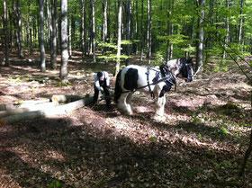 Pferd im Wald; Holzrücken mit Pferden