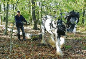 Holzrücken mit Pferden; Waldarbeit mit Pferden in Mecklenburg-Vorpommern