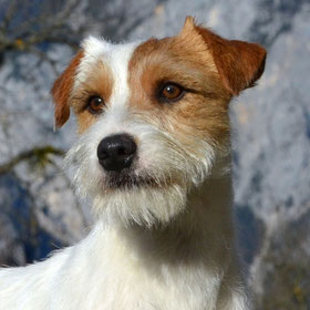 Parson Russell Terrier Rüde Toni