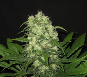 semillas de marihuana feminizadas critical raskera de big seeds