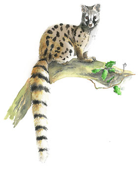 illustration naturaliste, genette, aquarelle