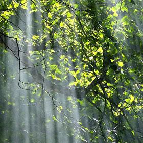 radici - raggi di luce che penetrano tra il fitto del bosco