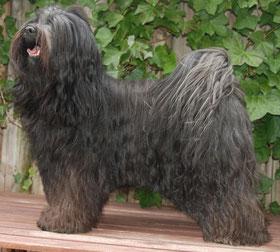 Tibet Terrier Rüde Chenpo