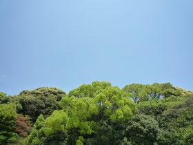 良いお天気が続いています。「鬱鬱」という言葉には「草木がよく茂っている様子」という意味もあるようで、私は日常の会話で使った事はありませんが、先日友人と「緑がもこもこしていて綺麗だねぇ」と話していたのですが、「もこもこ」それがまさに「鬱鬱」ということですね!