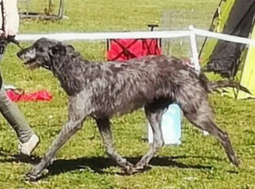Deerhound Deckrüde Deutschland/Deerhound Studdog Germany/FCI Sighthound pedigree