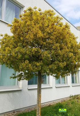 Ein  in voller Blüte stehender Spitzahorn - ein Straßenbaum und tolle Bienenweide mitten in Hannover. Aufgenommen Ende April 2021 von K.D. Michaelis, weshalb neben den gelben Blütenbüscheln auch schon kleine, frische Blattaustriebe zu sehen sind.